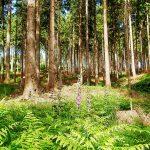 Wald zwischen Hasselbachtal und Schälker Landstraße (Juni 2016) Foto: Ulrich Dornhoff