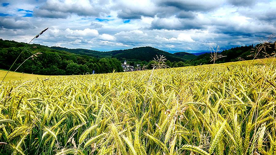 Getreidefeld im Hintergrund St. Josef Stübbeken (Juni 2016) Foto: Ulrich Dornhoff